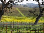 Sonoma Vineyard with Winter Mustard Plants