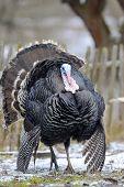 foto of black-cock  - The flight of turkey - JPG