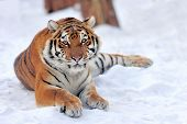 stock photo of tigress  - Siberian tiger in the wild on the snow - JPG