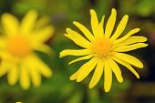 picture of rare flowers  - closeup of a rare beautiful flower in the nature of greek island - JPG
