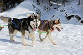 stock photo of sled-dog  - A team of Siberian sled dogs pulling a sled through the winter forest - JPG