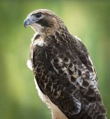 picture of hawk  - Red - JPG