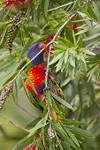 image of lorikeets  - Rainbow lorikeet feeding in a bottlebrush New South Wales Australia - JPG