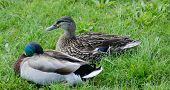 foto of male mallard  - Male and female mallard ducks resting in the grass - JPG