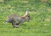 picture of wild-rabbit  - Young wild Rabbit running across field in Springtime.
