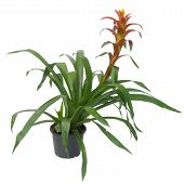 picture of bromeliad  - Bromeliad guzmania in pot isolated on white background - JPG