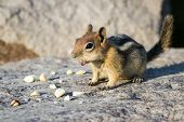 pic of chipmunks  - close up of a chipmunk eating peanuts on a rocky surface