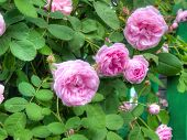 pic of climbing roses  - Bright pink roses with fresh green leaves in the garden - JPG