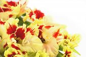 stock photo of gladiolus  - Red and yellow bright gladiolus  - JPG