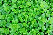 stock photo of mint-green  - green mint plant grow at vegetable garden - JPG