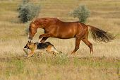foto of arabian horse  - Red horse and dog play in the meadow - JPG