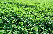picture of soybeans  - fresh green soybean plants in growth at field - JPG
