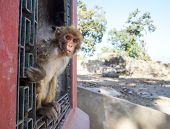 picture of peek  - Curious monkey peeking from iron window frame in Kathmandu. ** Note: Soft Focus at 100%, best at smaller sizes - JPG