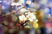foto of japanese magnolia  - Blooming spring tree white bright branch  - JPG