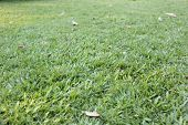 picture of manicured lawn  - This is a Green lawn in the garden - JPG