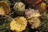 image of cottonwood  - Yellow cottonwood leaves with morning dew near Engenhahn in the Taunus mountains Hesse Germany - JPG