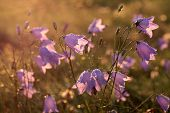 stock photo of harebell  - Bell flower (Campanula rotundifolia) with morning dew at Engenhahn Hesse Germany ** Note: Shallow depth of field - JPG