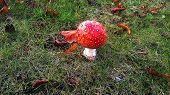 stock photo of fairy-mushroom  - Red poisonous mushroom known as Fly Agaric or the fairy tale mushroom - JPG