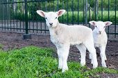 stock photo of spring lambs  - Two little white lambs standing together in green grass looking at camera - JPG