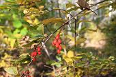 picture of barberry  - Branch with barberry berries in autumn wood  - JPG