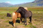 image of iceland farm  - Two Icelandic horses - JPG