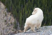 picture of mammal  - Mountain Goat  - JPG