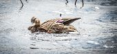 picture of parade  - A female Mallard duck goes out looking for action and parading for a mate - JPG