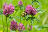 foto of red clover  - bee at red clover flower macro selective focus shallow DOF - JPG