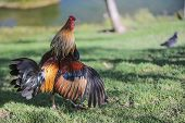 stock photo of roosters  - Decorative Rooster shows off the beauty of the feathers - JPG