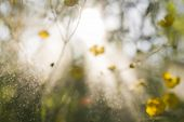 pic of buttercup  - blurry background of meadow buttercupes with sunshine and flying water particle - JPG