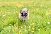 image of pug  - A Cute female pug at a photo session in a park - JPG