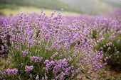 stock photo of lavender field  - Close up of Lavender flower - JPG
