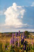 Постер, плакат: Violet Lupine Flowers