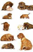 picture of bordeaux  - Bordeaux mastiff puppies with great bones - JPG