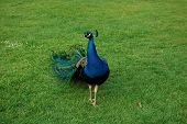 picture of peahen  - Peacock on a green grass - JPG