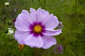 foto of cosmos flowers  - Pink Cosmos Flower in Autumn into the nature - JPG