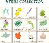 picture of saw-palmetto  - vector illustration of twelve popular herbs collection - JPG