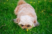 image of little puppy  - little white puppy lying on the green grass - JPG