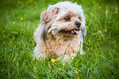 stock photo of little puppy  - little white puppy lying on the green grass - JPG