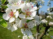 stock photo of apple blossom  - Apple blossom in bloom on a spring day - JPG