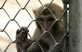 monkey in zoo of Sukhum, Abkhazia