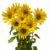 boquet sunflower
