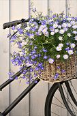 picture of lobelia  - Old bike with basket of flowers - JPG