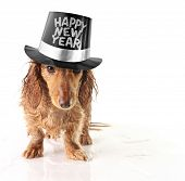stock photo of party hats  - Soaking wet puppy wearing a Happy New Year hat - JPG