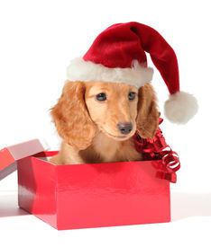 picture of christmas puppy  - Christmas puppy in a Santa hat - JPG