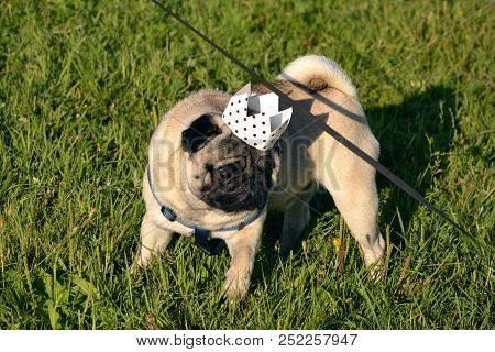 poster of Dog-king. Young Pug-dog.young Energetic Dog On A Walk. Sun. Funny Face. How To Protect Your Dog From