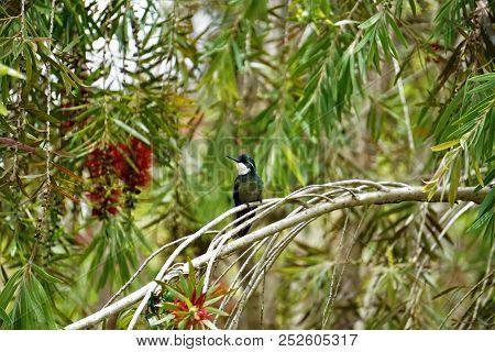 Greytailed Mountaingem Hummingbird Sitting On