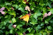 stock photo of english ivy  - Yellow maple leaf on green english ivy.