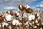 picture of boll  - Cotton bolls field ready for the harvest.