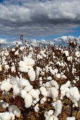 stock photo of boll  - Cotton field with popped bolls of cotton ready for harvesting. ** Note: Shallow depth of field - JPG